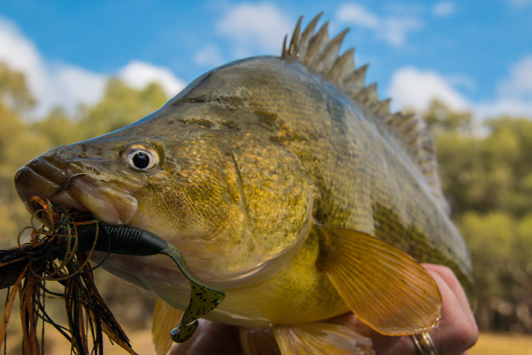 Golden Perch Profile