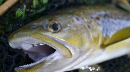 Brown & Rainbow Trout Profile