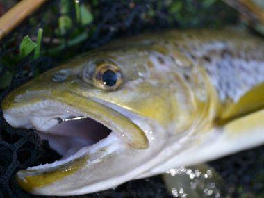 trout-description