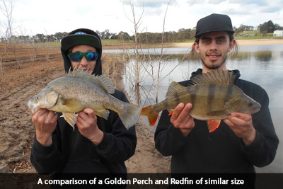 golden-perch-english-perch