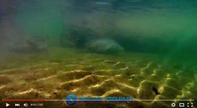 rare-120cm+-monster-murray-cod-free-swimming