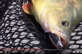 social-fishing-tip-following-golden-perch
