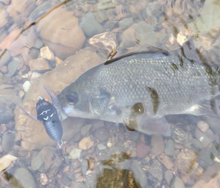 Bass in Small Streams