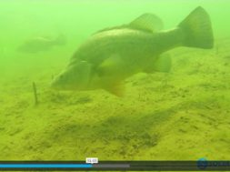 underwater-footage-golden-perch-blowering-dam