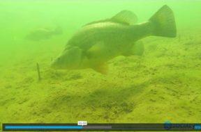 underwater-footage-golden-perch-blowering-dam