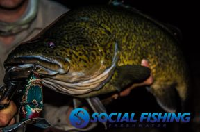 murray-cod-territorial-or-hungry