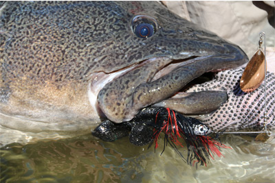 BIG cod on a spinnerbait that was set up to flutter down a rock face slowly