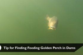 social-fishing-tip-finding-feeding-golden-perch