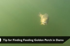 social-fishing-tip-finding-feeding-golden-perch