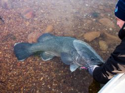 murray-cod-close-season-fishing