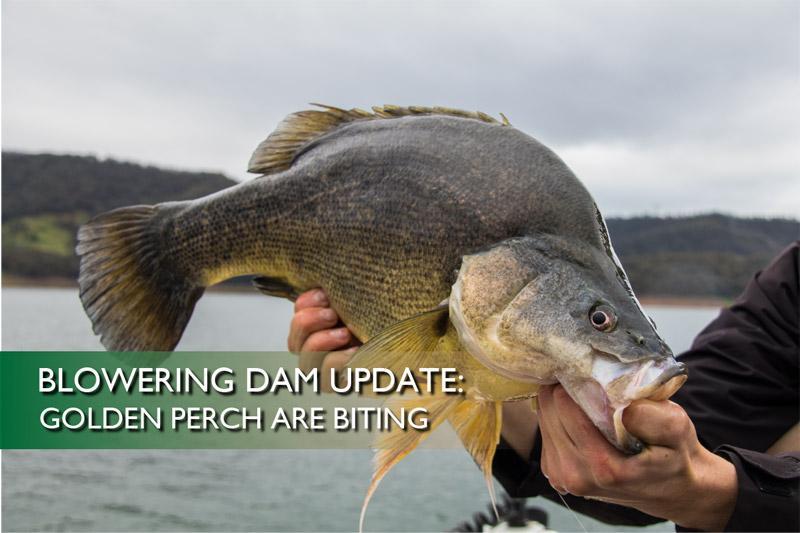 Blowering Dam Update: Golden perch are biting