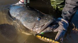 Murray Cod Closed Season Lifted in Blowering Dam