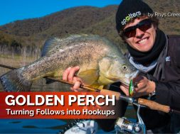golden-perch-turning-follows-into-hookups