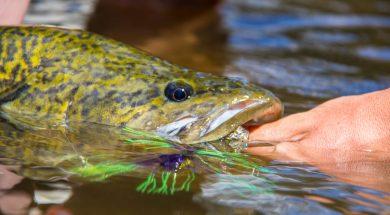 murrumbidgee-river-cod-spinnerbait