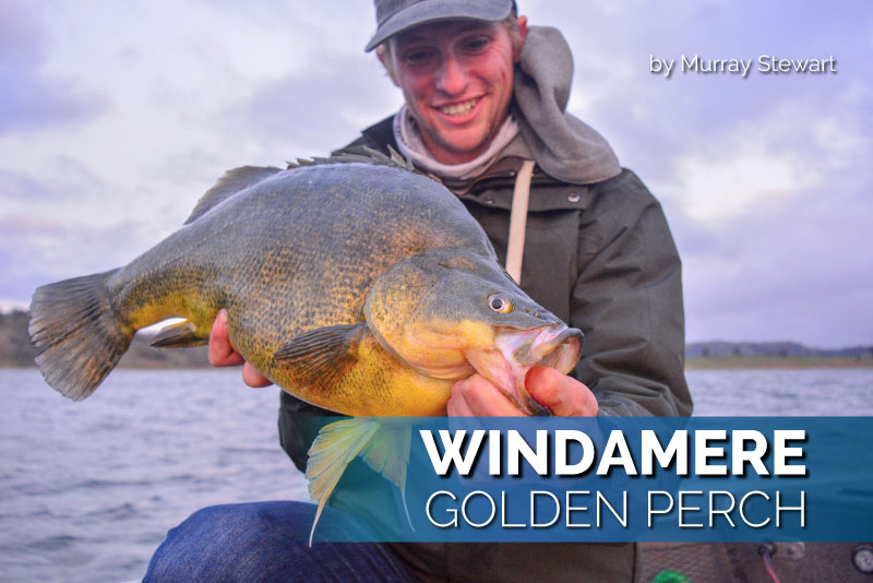Windamere Golden Perch