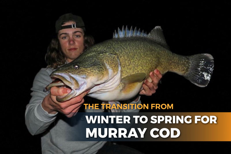 The Transition from Winter to Spring for Murray cod