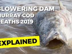 blowering-dam-fish-kill-2019-web